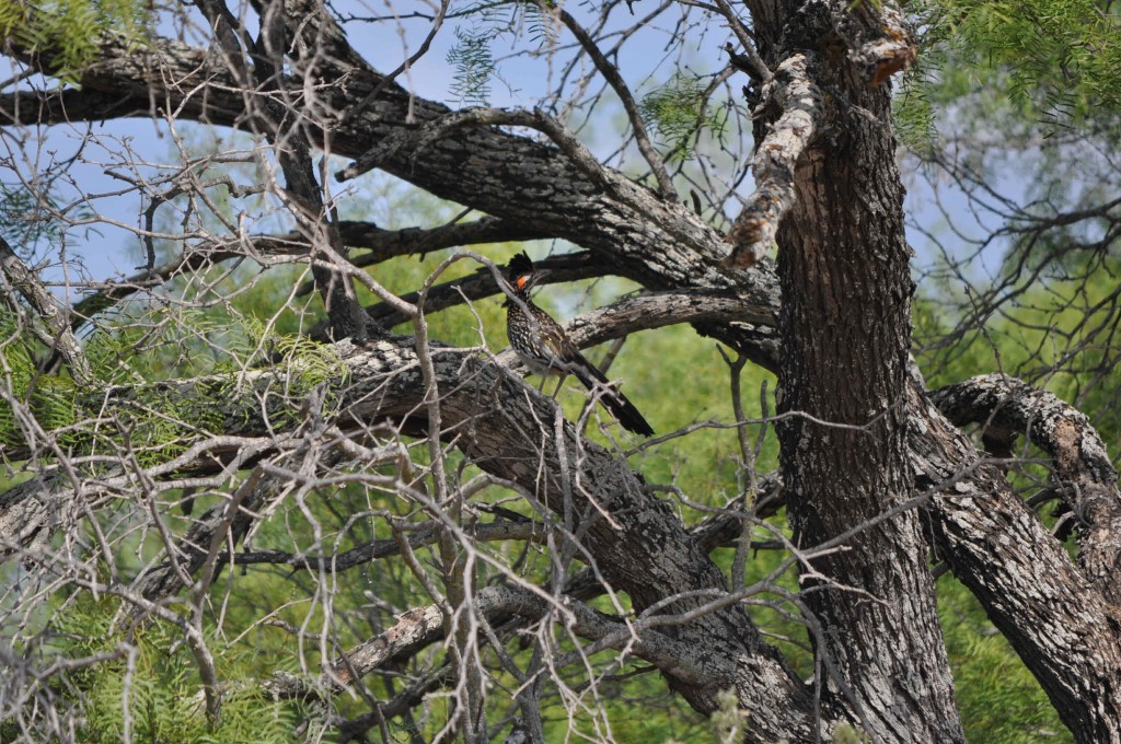 A RoadRunner up a tree does that make him a tree runner I guess it was cooler up there,was 104 degrees on the ground